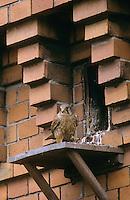 Turmfalke, Männchen, Terzel an Nisthilfe an Fassade, Turm-Falke, Falke, Falco tinnunculus, common kestrel