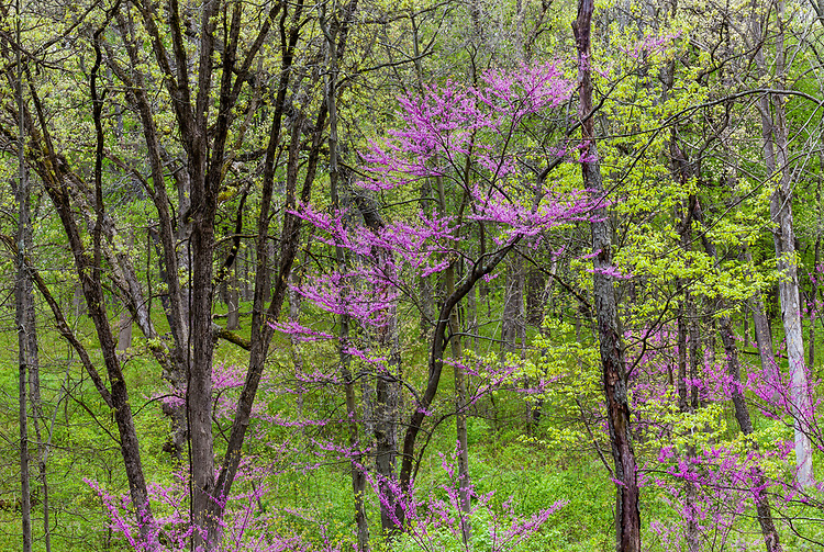 Evening light on Redbud trees in bloom and spring green in early spring; West Chicago Forest Preserve, DuPage County, IL