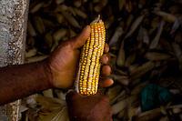 Acaiaca_MG, Brasil...Detalhe de espigas de milho em Acaica, Minas Gerais...Detail of corn ears in Acaica, Minas Gerais...Foto: LEO DRUMOND / NITRO