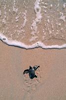 leatherback turtle hatchling, Dermochelys coriacea, crawls toward ocean, Juno Beach, Florida, Atlantic Ocean
