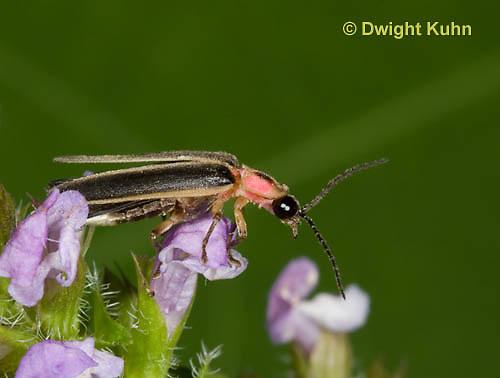 1C24-718z    Pyralis Firefly, Lightning Bug Male,  Photinus spp.