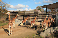 West African giraffes (Giraffa camelopardalis) in their new outdoor enclosure in the Zone Sahel-Soudan at the new Parc Zoologique de Paris or Zoo de Vincennes, (Zoological Gardens of Paris or Vincennes Zoo), which reopened April 2014, part of the Museum National d'Histoire Naturelle (National Museum of Natural History), 12th arrondissement, Paris, France. Picture by Manuel Cohen