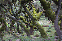 Moss covered Hazelwood trees in the Bale Mountains of Ethiopia