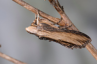 Braunwurz-Mönch, Braunwurzmönch, Shargacucullia scrophulariae, Cucullia scrophulariae, water betony, La Cucullie de la scrofulaire, Eulenfalter, Noctuidae, noctuid moths, noctuid moth