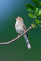 Clay-colored Sparrow - Spizella pallida
