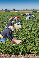 Picking Beans, Migrant Labor, Southern Florida Agriculture