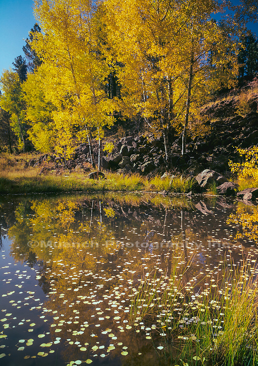 Autumn Aspen reflecting in pond,White Mountains,Arizona