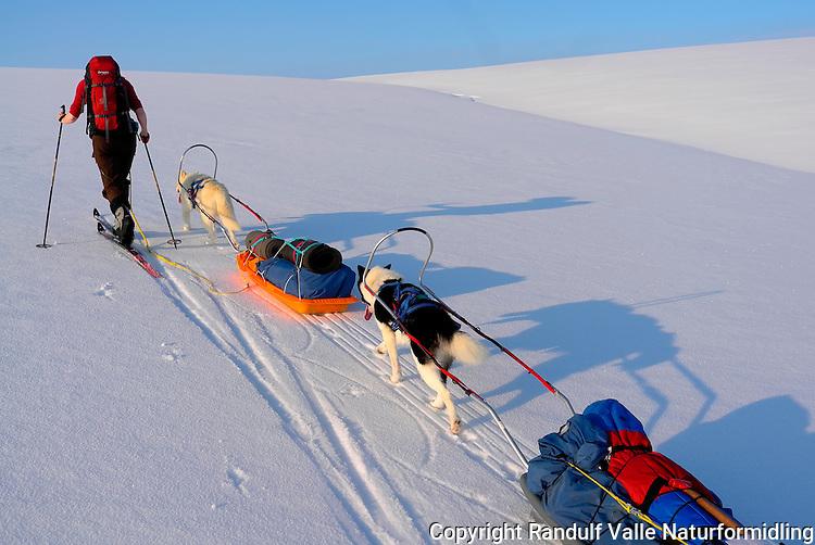 Dame går på ski og grønlandshunder trekker pulk på Laksefjordvidda/Ifjordfjellet. ---- Woman skiing and dogs pulling sleds.