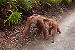 Bornean Orangutan (Pongo pygmaeus wurmbii) - mother, baby and juvenile in motion blur