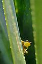 Pandanus Frog (Guibemantis pulcher) singing from inside a Pandanus leaf. Higher elevation rainforest (1600m), Vohiparara, Ranomafana National Park, eastern Madagascar.