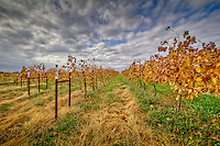 Vinyards in the the fall in Arkansas wine country near Altus Arkansas.