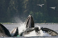 adult humpback whales, Megaptera novaeangliae, cooperative bubble-net feeding for herring, Iyoukeen Bay, Chichagof Island, Alaska, USA, Pacific Ocean