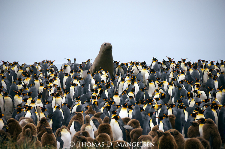 A southern elephant seal towers above hundreds of king penguins at Royal Bay on South Georgia Island.