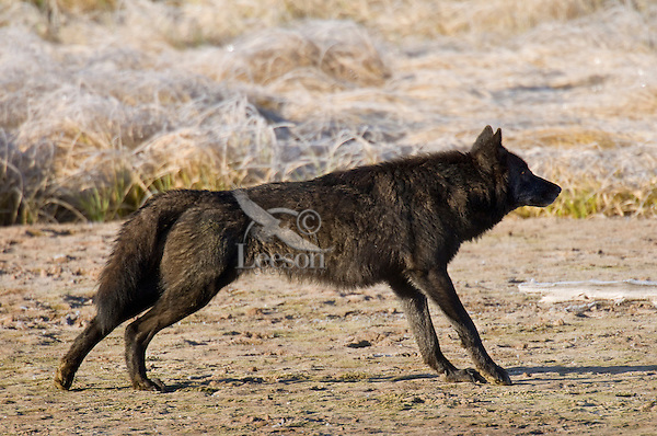 Wild GRAY WOLF (Canis lupus) stretching after getting up from sleeping.  Greater Yellowstone Ecological Area.  Fall.