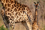 South African giraffe and calf, Phinda Reserve, South Africa