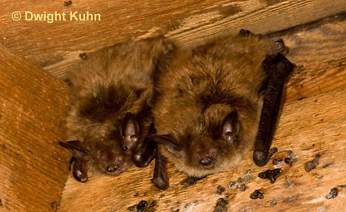 MA20-554z  Little Brown Bats, Myotis lucifugus