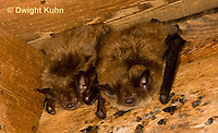 MA20-554z  Little Brown Bats, Myotis lucifugus