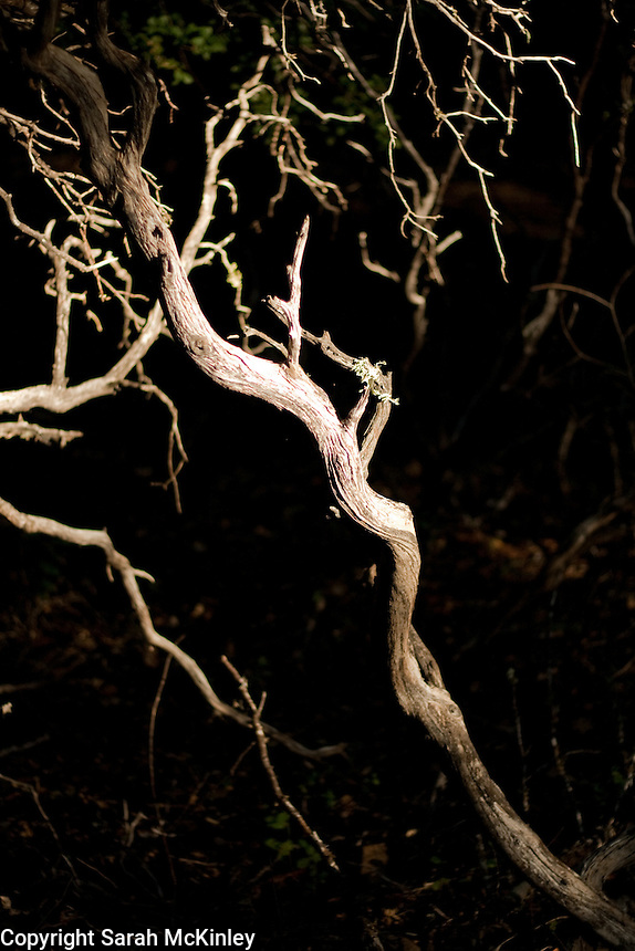 Light dramatically highlights pale, zigzagged tree branches in the dark forest of Little Darby in Willits in Mendocino County in Northern California.