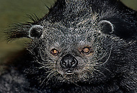 610408011 portrait of a binturong acrtictis binturong animal is a wildlife rescue and species is endangered in its tropical forest habnitat in southeast asia  giggles