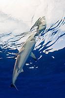 oceanic whitetip shark, Carcharhinus longimanus, attacking bird on the surface, Cat Island, Bahamas, Caribbean Sea, Atlantic Ocean