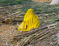 A woman from India draped in a beautiful, embroidered, saffron sari, sitting on the ground in the middle of bundled sugar cane at the Pushkar Fair.