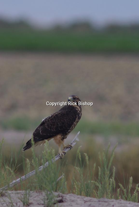 Swainson Hawk seen an a old tree branch in farm land of Hinckley,  Utah  near the nest.