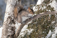 Grey Squirrel in a tree on a snowy winter day.
