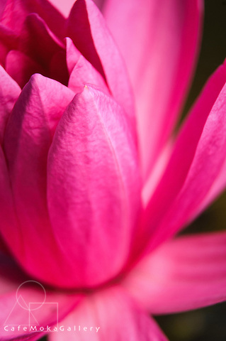 Close up of the flower of a pink lotus or water lily