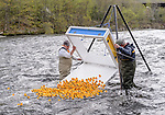 Beacon Falls, CT. 06 May 2018-050618BS234 - Beacon Falls Lions Club members Mike Kreneski, left and Bob Bradley drop the rubber ducks into the river during the Annual Duck Race and Riverfest at Volunteer Park along the Naugatuck River on Sunday afternoon. Bill Shettle Republican-American