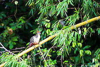 Hoatzin (Opisthocomus hoazin) in the Amazon Rainforest of Ecuador, South America