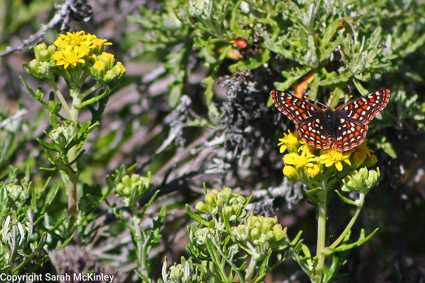 A checkerspot butterfly opens it wings as it drinks from a yellow flower.