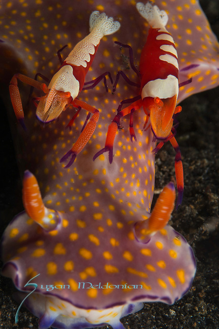 Emperor Shrimp on Ceratosoma Nudibranch, Periclimenes imperator