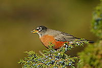 American Robin, Turdus migratorius, male eating juniper tree berries,Yellowstone NP,Wyoming, USA