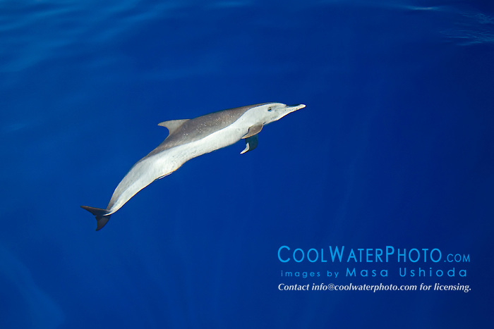 Pantropical Spotted Dolphin, Stenella attenuata, off Kona Coast, Big Island, Hawaii, Pacific Ocean.