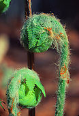 Fiddlehead ferns in the Upper Peninsula of Michigan.