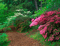 U.S. National Arboretum, Washington D.C.<br /> White flowering dogwood and pink flowering azalea border a pathway in the Historic Glenn Dales; in the Azalea Collections