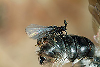 Fächerflügler, gefügeltes Männchen bei der Paarung mit Weibchen, das im Hinterleib der Biene lebt, parasitiert auf einer Wildbiene, Sandbiene, Andrena, Parasit, Parasitismus, Stylops melittae, Strepsiptera, Neoptera, twisted-wing parasites, Les strepsiptères