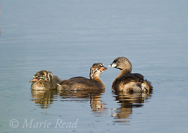 Pied-billed Grebes (Podilymbus podiceps) adult on water with two juveniles, Montezuma National Wildlife Refuge, New York, USA.