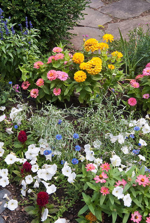 Annuals marigolds, zinnias, bachelor buttons Centaurea, petunias, Salvia farinacea, Celosia, blue flowers, pink, yellow, lavender, white colors, mixed in summer garden