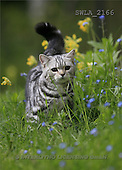 Carl, ANIMALS, photos(SWLA2166,#A#) Katzen, gatos