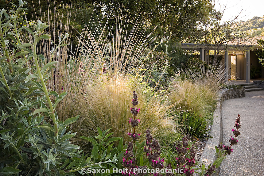 Ornamental grasses Muhlenbergia rigens (tall) and Nassella tenuissima in border along driveway in drought tolerant California native plant garden