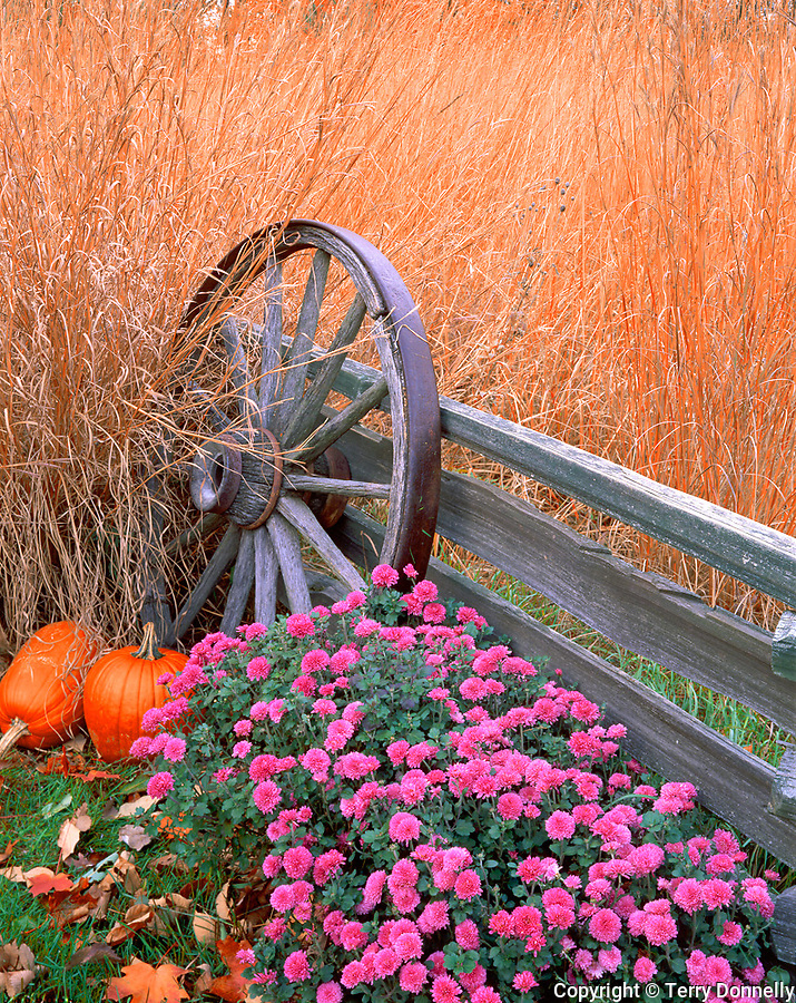 Bureau County, IL  © Terry Donnelly  <br /> Fall scene of native prairie grasses, pumpkins, chrysanthemums with weathered fence & wagon wheel