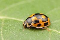 Fourteen-spotted Lady Beetle (Propylea quatuordecimpunctata) - Female, Ward Pound Ridge Reservation, Cross River, Westchester County, New York