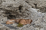 Mountain Lion (Puma concolor) mother and six month old cubs sleeping in shelter of calcium deposits, Sarmiento Lake, Torres del Paine National Park, Patagonia, Chile