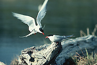 Arctic Tern mail backs away from mate after passing of its catch in flight.