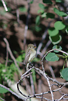 Western Flycatcher seen in mountains in southern Utah.