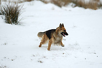 Pictured: A dog in the snow at Libanus, in Brecon, Wales, UK. Friday 01 February 2019<br /> Re: Heavy snow and freezing temperatures affecting parts of the UK.