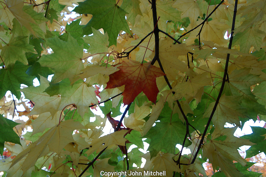 Single red maple leaf among green leaves, Vancouver, BC, Canada