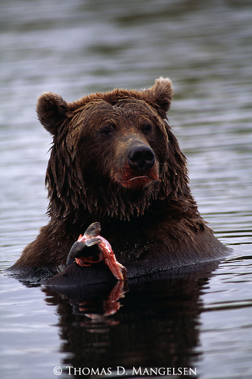 Grizzly bear eating fish in Brooks River in Katmai National Park, Alaska