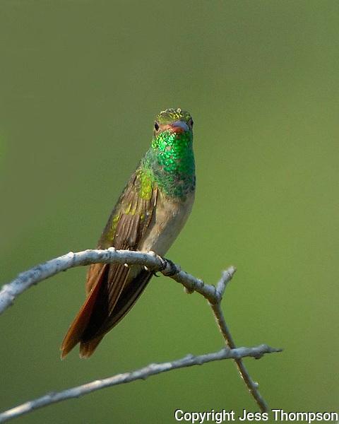 Buff-bellied Hummingbird, Estero Llano Grande State Park, Weslaco, TX